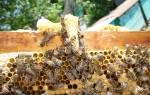 Матка пчелы стадии развития