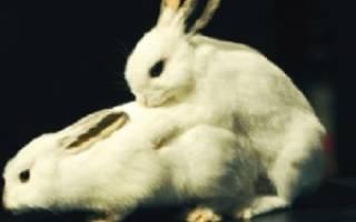 Спаривание декоративных черных кроликов