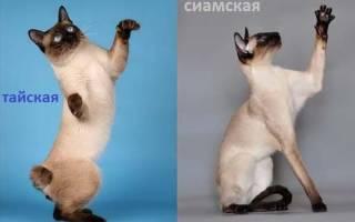 Основные отличия сиамской кошки от тайской