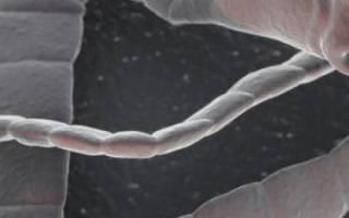 Глисты у телят симптомы лечение