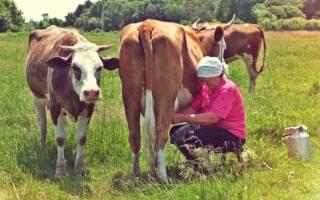 Как когда и почему корова дает молоко