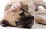 Что означает твердый живот у собаки?
