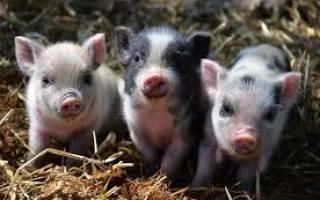 Кормление поросят сосунов советы свиноводу