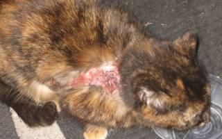 Мокнущая экзема у кошек: первые симптомы