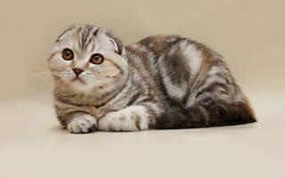 Вислоухие породы кошек в чем их особенности