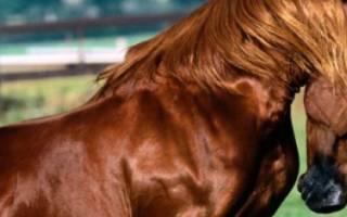 Англо-арабская лошадь кто она
