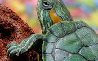 Почему мягкий панцирь у красноухой черепахи