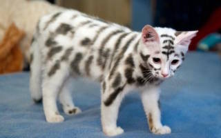 Окрасы кошек общая информация