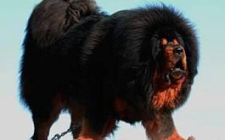Уход за тибетским мастиффом