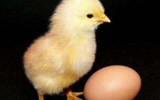 Желтый цыпленок почему цыплята желтого цвета