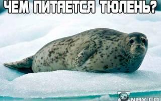 Чем питаются тюлени Арктики