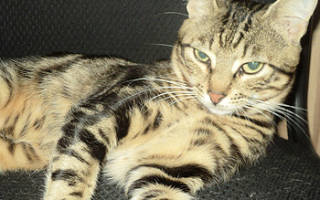 Соукок лесная кошка из Кении