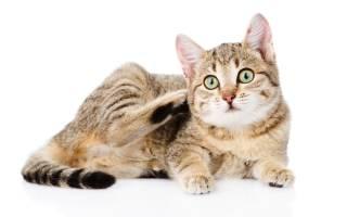Опасен ли для человека ушной клещ у кошек