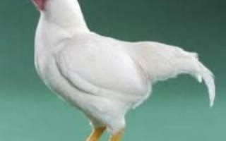 Корниш порода кур и ее характеристика