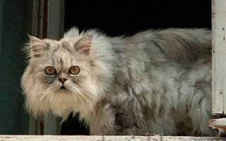 Колтуны у кошек распутать нераспутываемое