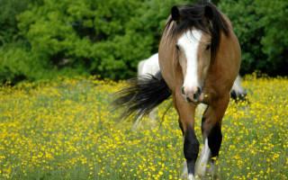 Пироплазмоз лошадей симптомы лечение