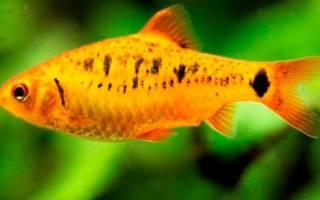 Рыбки барбусы содержание и уход — Drugdoma