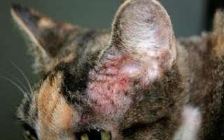 Аллергический дерматит у котов описание видов