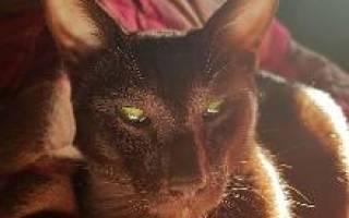 Подробное описание породы кошек гавана браун