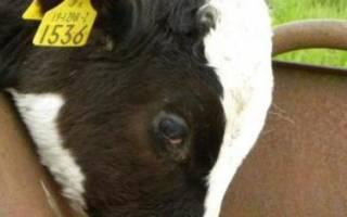 Причины остановки желудка у коровы