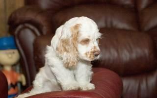 Воспитание и содержание щенка кокер спаниеля