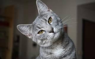 Запор у кошки — возможные причины