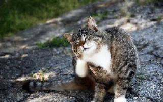Кошка чешется грызет себя