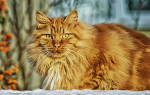 Как делать прививку от бешенства котенку