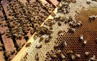 Пчелиная семья: состав, жизнь и обязанности