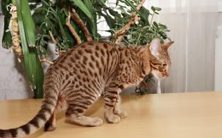 Оцикет кошки и коты
