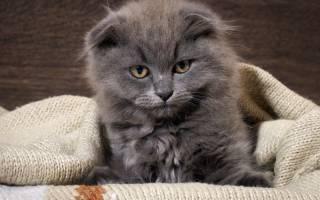 Определяем причину запаха из ушей у кошки