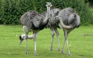Как выглядит американский страус