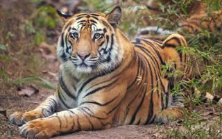 Дикое животное тигр содержание в неволе