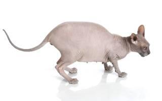 Сколько длится беременность у кошек сфинксов