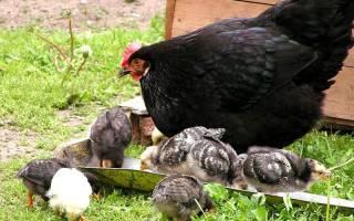Цыплята на улице когда можно выпускать цыплят