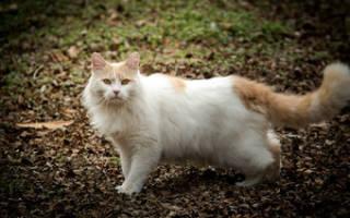 Порода кошек турецкий ван — описание, характер