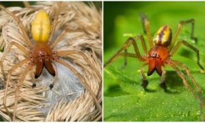 Жёлтый паук 🕷 Фото и описание