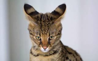 Симптомы и лечение болезней ушей у кошек