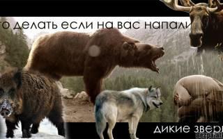 Опасен ли лось для человека и чем