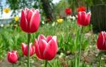 Цветы тюльпаны Уход за цветами
