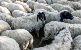 Разведение овец и баранов как бизнес