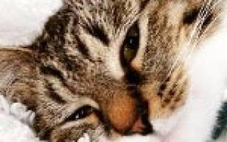 Гломерулонефрит у кошек симптомы и лечение