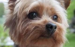 Воспитание щенка йоркширского терьера