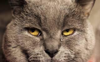 Слезятся глаза у кошки британской породы
