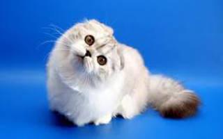 Кошка с загнутыми ушами назад