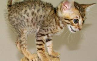 Кошка серенгети описание породы характер