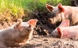 Свиноводство в Беларуси состояние и развитие