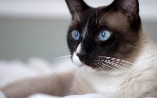 Сноу-шу кошки и коты