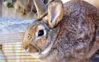 Основные причины и лечение поноса у кроликов