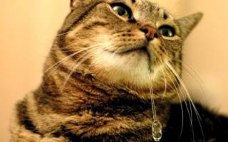 Почему у кота текут слюни изо рта
